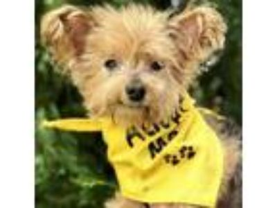Adopt Cleveland 6544 a Yorkshire Terrier