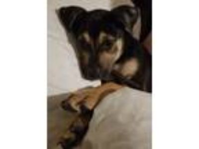 Adopt Evelyn a Terrier (Unknown Type, Small) / Rottweiler / Mixed dog in Little