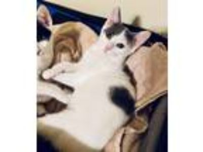 Adopt Grace Kelly a White (Mostly) Domestic Shorthair / Mixed (short coat) cat