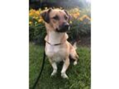 Adopt Buster a Tan/Yellow/Fawn - with Black Beagle / Shepherd (Unknown Type) /