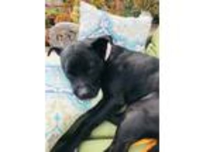 Adopt Jaxson a Black - with White Labrador Retriever / Pointer / Mixed dog in