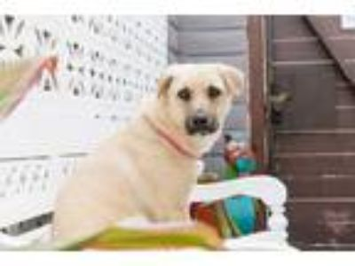Adopt Vanilla a Tan/Yellow/Fawn - with Black Labrador Retriever / Mixed dog in