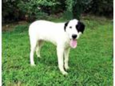 Adopt PUPPY COLBY a White - with Black Great Pyrenees / Labrador Retriever /