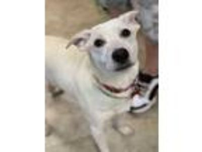 Adopt Scotty a White Labrador Retriever / Australian Cattle Dog / Mixed dog in