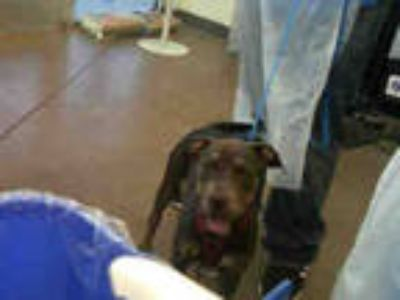 Adopt XENA a Black - with Tan, Yellow or Fawn American Pit Bull Terrier / Mixed