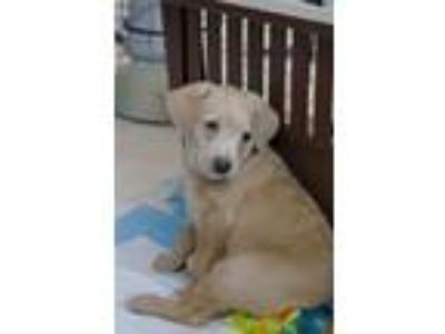 Adopt Brienne of Tarth a Labrador Retriever, Terrier