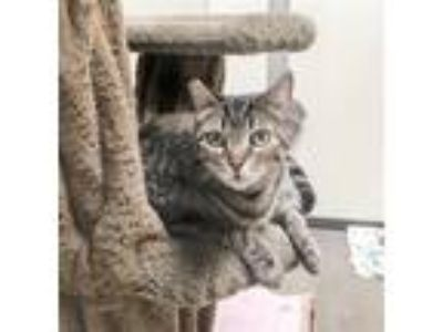Adopt Puppy a Domestic Shorthair / Mixed cat in Oceanside, CA (25283451)