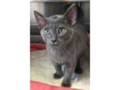 Adopt Clem a Gray or Blue Domestic Shorthair (short coat) cat in Loudon