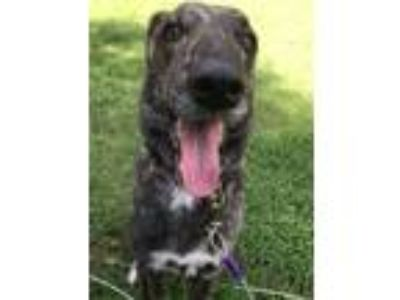 Adopt Sweet Pea a Brindle - with White Belgian Malinois / Labrador Retriever /