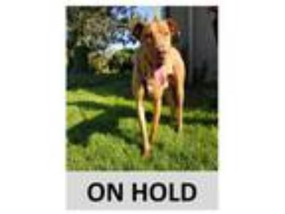 Adopt EVAN a Red/Golden/Orange/Chestnut American Pit Bull Terrier / Mixed dog in