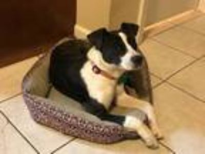 Adopt Foxy a Brindle - with White Fox Terrier (Smooth) / Mixed dog in Aurora
