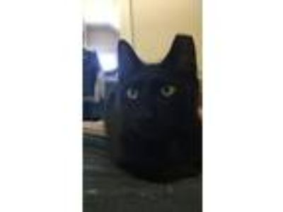 Adopt Jonas / Kate a Domestic Short Hair