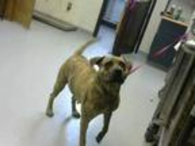 Adopt JASMINE a Brindle American Pit Bull Terrier / Mixed dog in Fayetteville