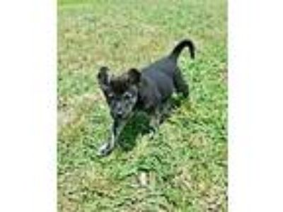 Adopt Arden a Black - with Tan, Yellow or Fawn Dutch Shepherd / Mixed dog in