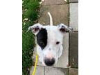 Adopt Evie a White - with Black Staffordshire Bull Terrier / Mixed dog in