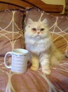 Adorable CFA Persian kitten ready for loving home