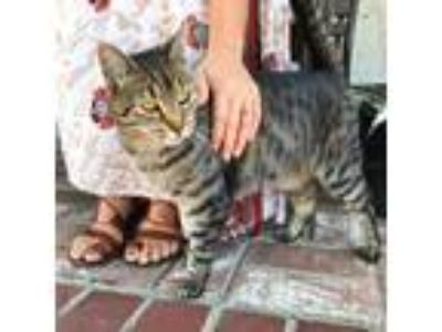 Adopt Bobcat a Brown or Chocolate Domestic Shorthair cat in Los Angeles