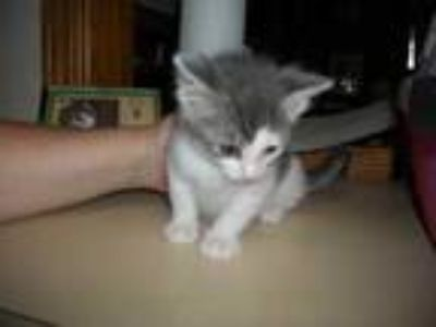 Adopt 35799496 a Gray or Blue Domestic Shorthair / Domestic Shorthair / Mixed