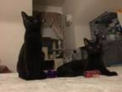 Adopt Hershey and Kit Kat a Bombay, Domestic Short Hair