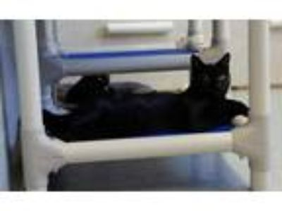 Adopt Jett a All Black Domestic Shorthair / Domestic Shorthair / Mixed cat in