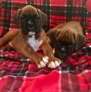 Bobtail Boxer Puppies