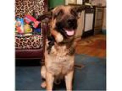 Adopt Hercules a Tan/Yellow/Fawn - with Black German Shepherd Dog / Mixed dog in