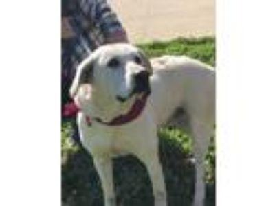 Adopt Jax a White Labrador Retriever / Mixed dog in Savannah, TN (18616357)