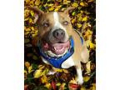 Adopt Pluto a Tan/Yellow/Fawn - with White American Pit Bull Terrier / Mixed dog