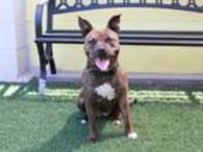 Adopt KNELL a Staffordshire Bull Terrier