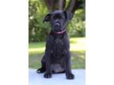 Adopt Hannah a Black Labrador Retriever / Mixed dog in Waldorf, MD (25878003)