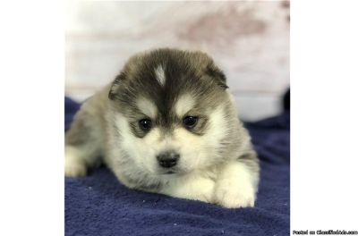 Baby pomsky puppies for sale