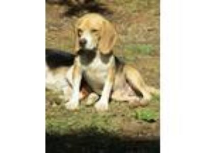 Adopt ANDY a Tan/Yellow/Fawn - with Black Beagle / Mixed dog in Rutherfordton