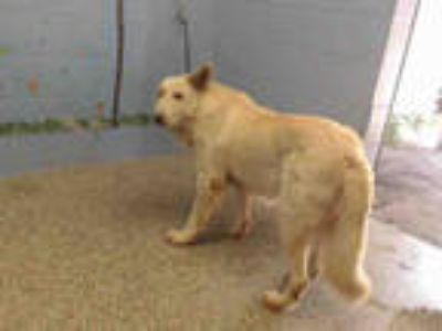 Adopt a White - with Tan, Yellow or Fawn German Shepherd Dog / Mixed dog in San