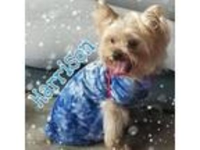 Adopt Harrison a Yorkshire Terrier