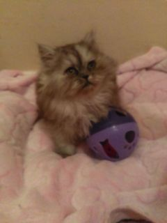 CFA Persian kittens ready for loving homes