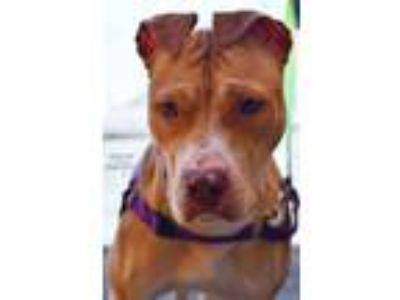Adopt Moana a Tan/Yellow/Fawn American Pit Bull Terrier / Mixed dog in Niagara