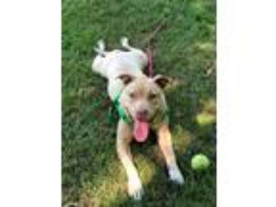 Adopt Roxi a Tan/Yellow/Fawn Pit Bull Terrier / Mixed dog in Manchester