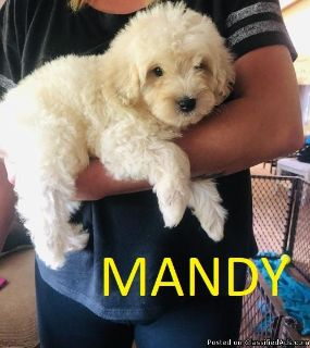 Beautiful Maltipoo Girls Need New Lovely Home