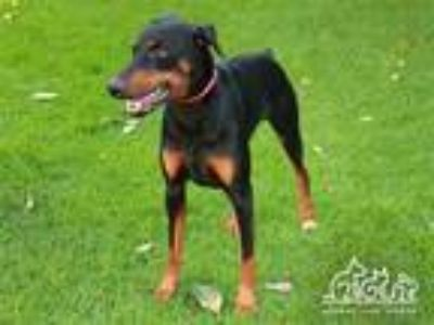 Adopt ROCKY a Black - with Tan, Yellow or Fawn Doberman Pinscher / Mixed dog in
