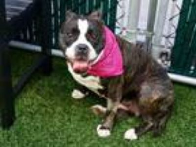 Adopt Claire a Brindle - with White Boston Terrier / American Staffordshire