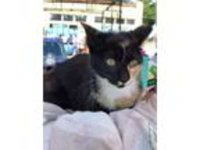 Adopt Porsche the Cat* a Domestic Shorthair / Mixed cat in Tampa, FL (25361816)