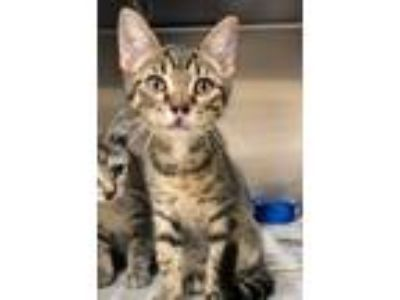 Adopt Squirrel a Domestic Short Hair