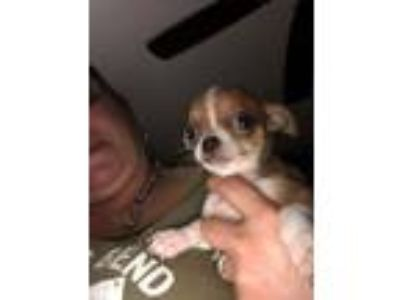 AKC Chihuahua Puppies 300 deposit to hold yours. Hurry they will go fast