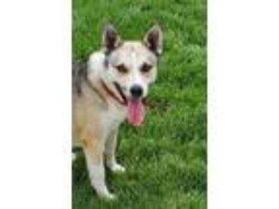 Adopt Chase a Gray/Blue/Silver/Salt & Pepper Husky / Mixed dog in Aurora