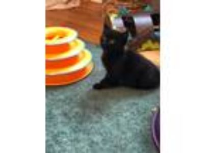Adopt Parker (Foster Care) a Domestic Short Hair