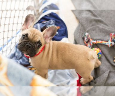 French Bulldog PUPPY FOR SALE ADN-127546 - Lincoln