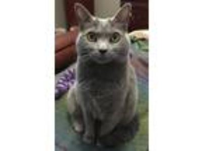 Adopt Shadow a Gray or Blue Russian Blue cat in Bartlett, TN (25773371)