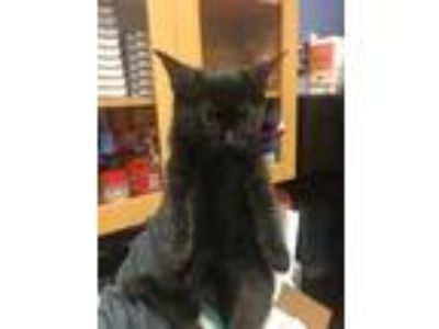 Adopt Fuzzy a All Black Domestic Mediumhair / Domestic Shorthair / Mixed cat in
