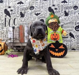 Ask us how you could get this Cane Corso  for 93 dollars a month!