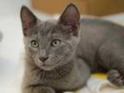 Adopt Sheriff a Gray or Blue Domestic Shorthair / Domestic Shorthair / Mixed cat